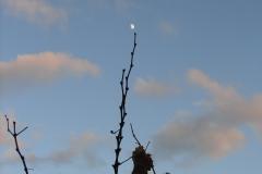 Vigne vers la lune Calce