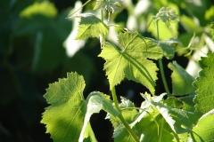Vigne Calce
